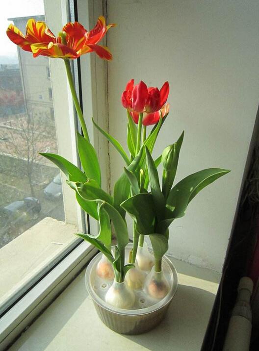 水培郁金香的养殖方法和注意事项