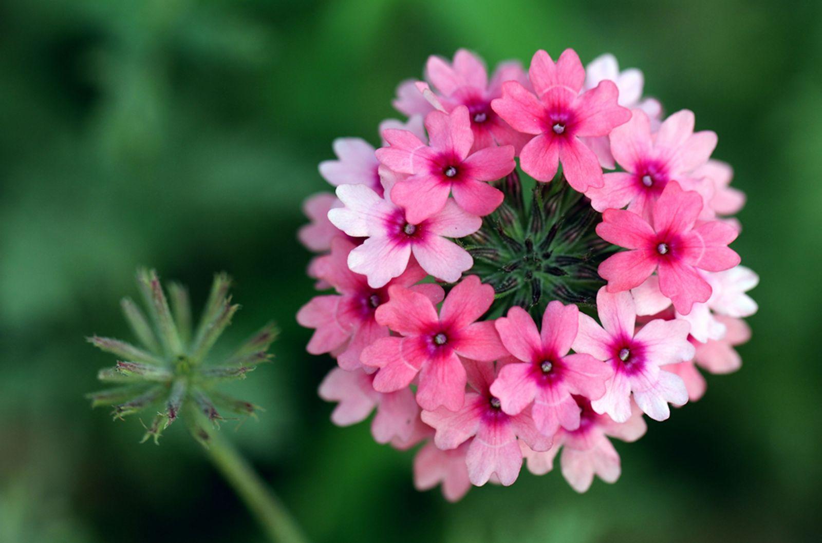 美女樱的花语是什么意思